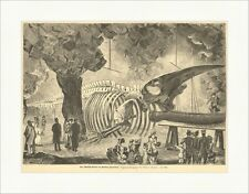 La baleine au squelette de Berlin aquarium Geißler animal OS Gravure sur bois e 15131