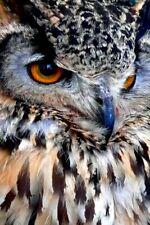 European Eagle Owl Bird of Prey Portrait Photograph Picture Print