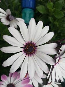 Bornholmer Magerite in weiß lila... 20 Samen... Kapkörbchen.. Super schön