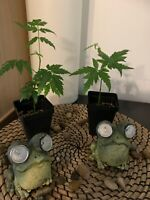 2 NEEM TREE SEEDLINGS 5-8 INCHES  FROM INDIA ORIGINALLY