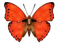 Red Glider Butterfly Cymothoe coccinata Male Folded Fast From Usa