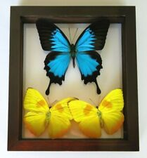 """3 REAL FRAMED BUTTERFLIES PAPILIO ULYSSES SIZE 6.5''X7.5"""" DOUBLE GLASS"""