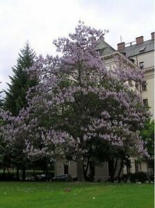 Royal Paulownia- Empress Tree- 25 Seeds- BOGO 50% off SALE