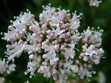 Garden Valerian Seed All-Heal Perennial Medicinal Cold Hardy to Zone 3 Adaptable