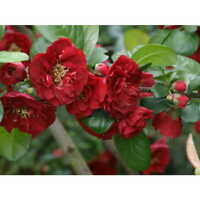 Red Dragons Blood Double Flowering Quince –   1 Gallon Potted - Healthy