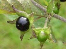 Atropa Belladonna 250 Fresh Seeds