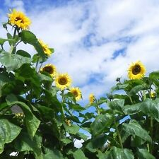 10 Giant Sunflower Seeds - KONG