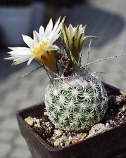 Turbinicarpus Dickisoniae (10 SEED) Rare Cactus Samen Semi Korn 種子 씨앗 Семена