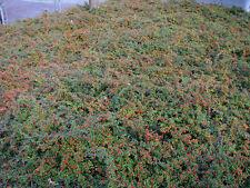5 Stück Zwergteppichmispel Cotoneaster Streibs Findling Bodendecker