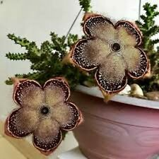 Edithcolea grandis 2 inch pot rooted cutting. Gorgeous blooms. Indoors or Out.