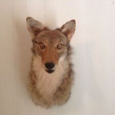 Coyote shoulder head mount taxidermy