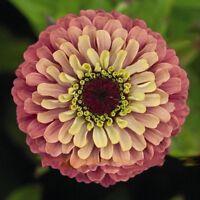50 Samen Riesen Zinnien Prachtmischung Zinnia Elegans Zinnie Blumensame Garten