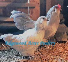 Npip/Ai Neg. 15 Standard Lavender Ameraucana Hatching Eggs