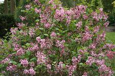 1 X LILAC PLANT SYRINGA VULGARIS   3 LITRE 30 - 50 CMS