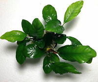 *BUY 2 GET 1 FREE* Anubias Coffeefolia Anubis Rhizome Live Aquarium Plants ✅