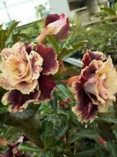 2 Cream Maroon Desert Rose Seeds Adenium Obesum Flower Perennial Exotic Bloom