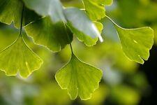 20 semi-facile da coltivare Ginkgo BILOBA Albero Maidenhair