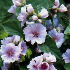 MARSH MALLOW Althaea Officinalis  50 SEEDS