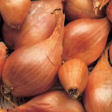 """V293FR Shallot """"Roderique"""" x50 seeds, Fresh New Season Non-GMO"""