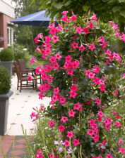 120Pcs Mandevilla Seeds Potted Balcony DIY Home Decorative Garden Plants Flowers