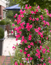 120Pcs Mandevilla Seeds Potted Balcony DIY Home Decorative Garden Plants Flowers