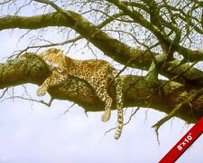 LEOPARD WILDCAT RESTING IN TREE ANIMAL PAINTING WILDERNESS ART REAL CANVAS PRINT