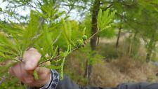 BALD CYPRESS  taxodium  30 Semillas apto Bonsai  Seeds