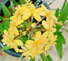 Rare Yellow Epidendrum Orchids rooted cutting, Keiki Nice!