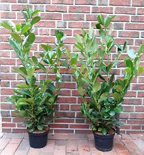 6 Stück Kirschlorbeer - Pflanzen, Prunus Rotundifolia, Höhe: 100-120 cm, Hecke