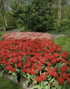 RED TULIPS HERITAGE TRIUMPH Bulbs (Pack 10 Bulbs) Perennial Zones 3-8 Guaranteed