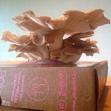 Pilzpaket Sommer Austernpilz Pilzzuchtset Pilzbrut kaufen Pilze züchten Pilzbox