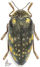 Sternocera castanea boucardi 50+mm,GIANT!, from Kenya,UNMOUNTED beetle