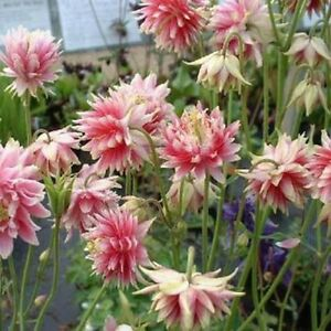 Columbine (Aquilegia Vulgaris) Nora Barlow- 50 seeds
