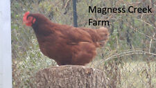 12 + Rhode Island Red Chicken hatching eggs. Ar Npip P/T clean Read Description