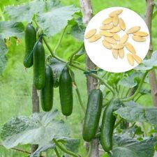 300x Fruit Cucumber Seeds Delicious Nutritious Vegetable Garden Bonsai Plant Mgi