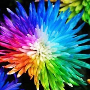 US-Seller Rainbow Chrysanthemum Flower Seeds Rare Color Flower Plant 20 Pieces
