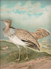 Naumann 1905 Naturgeschichte der Vogel Houbara Bustard