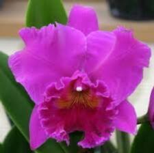 Bin)Blc Haruko Kanzaki 'Volcano Queen' Cattleya Orchid Plant