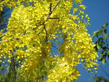 # Cassia fistula Golden Shower Tree - Huge trailing yellow flowers - seeds