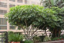 Schefflera pueckleri syn Tupidanthus calyptratus Umbrella Tree Seeds!