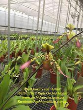 QOB Orchid Plant Rare species Multiflorus Paphiopedilum lowii 90mm pot