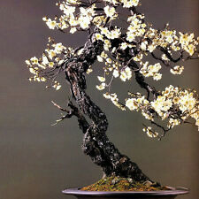 10pcs seeds WHITE PRUNUS ( PRUNUS MUME ) bonsai seeds