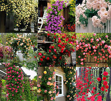 1350 seeds climbing Rose Shrub Balcony hedge tree flowers purple red white pink