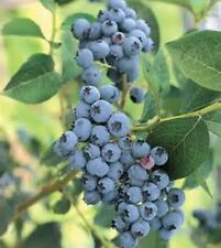 50+ HIGHBUSH BLUEBERRY PRE-STRATIFIED SEEDS FREE USA SHIPPING