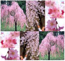 JAPANESE Weeping Cherry Tree SEEDS- Prunus subhirtella pendula - WEEPING VARIETY
