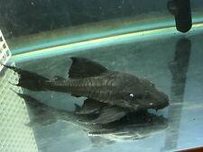 New listing Blue Eyed Pleco Fish 12�