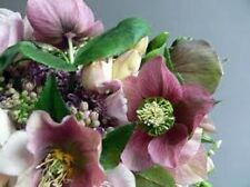 15+ ROSE HELLEBORUS CHRISTMAS ROSE FLOWER SEEDS / WINTER BLOOMING PERENNIAL