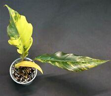 """Philodendron Caramel MARBLE """"ROSA"""" VARIEGATED pianta (no syngonium, Monstera)"""