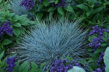 Blue  Fescue Fesnea Glauca Ornamental Grass Seeds USA Grown 100 ct