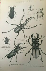 ANTIQUE PRINT 1870'S BEETLES ENGRAVING STAG BEETLE SCISSOR JAWED BEETLE INSECTS